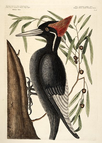426px-Large-white-billed-woodpecker